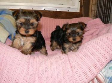 Preciosos yorkshire terrier cachorros