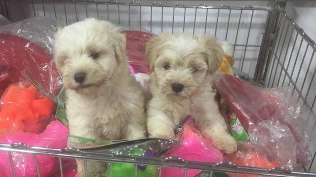 Estupendos cachorritos de bichon maltes miniatura
