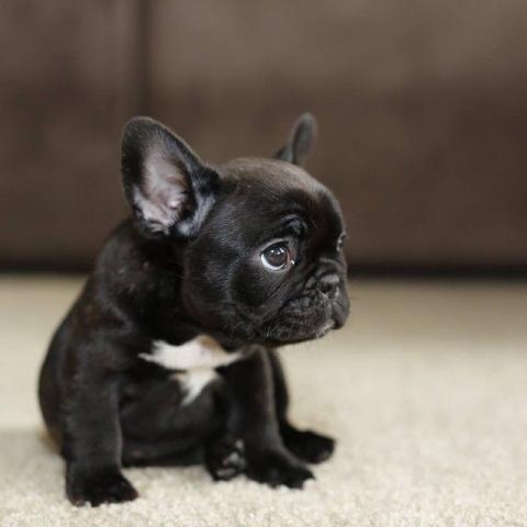 Regalo lindo sano francés bulldog cachorros para usted vvv