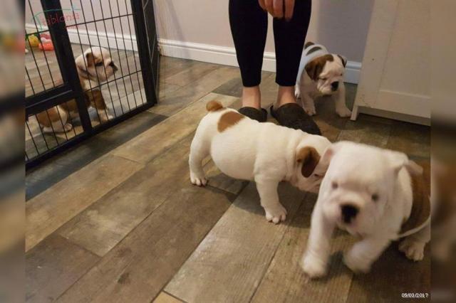 Disponibles preciosos cachorros de raza bulldog ingles
