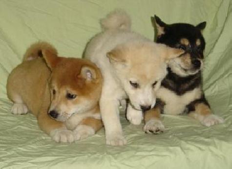 Cachorros de Shiba Inu de color rojo y crema. Nacionales.
