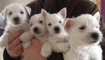 Cachorritos de westy blanco puros peluches
