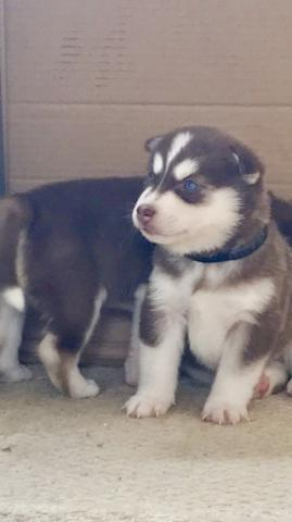 Sanos y entrenados cachorros husky para la adopción