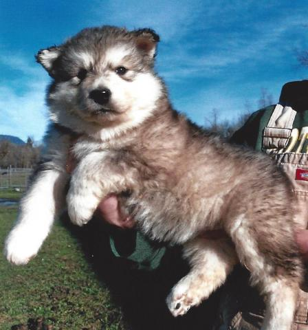 Regalo cachorros de alaskan malamute