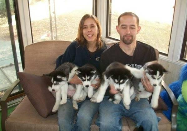 saludables y entrenados Siberian husky cachorros listos para nuev