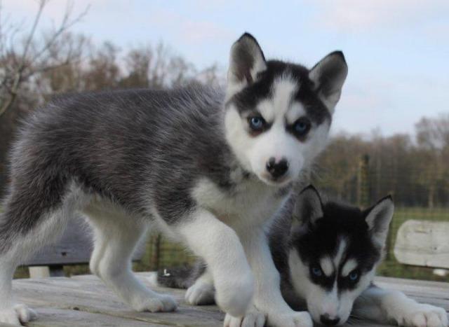 Siberian husky disponibles para adopciónnnnnnnnnnn