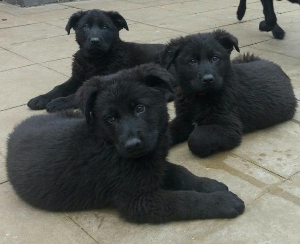 Cachorros de pastor aleman con pedigree