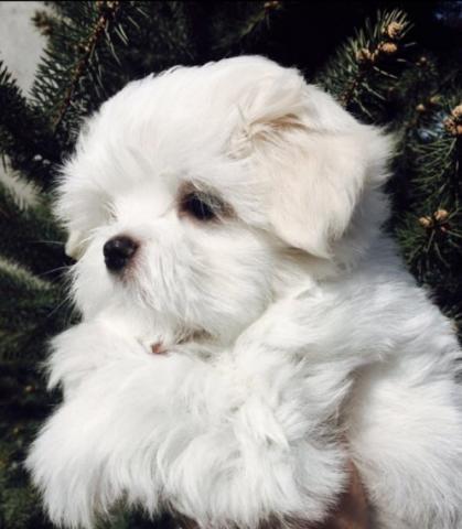 REGALO Bichon Maltes Cachorros Para Adopcion
