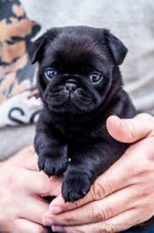 gifted regalo cachorros y los machos hembras Pug Carlino bien e