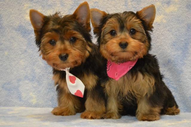 REGALO Yorkshire cachorro para su adopcion