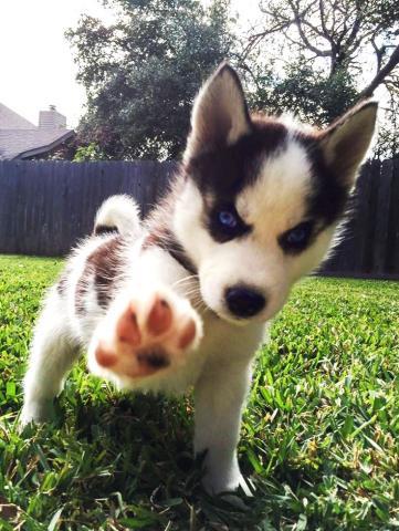 Regalo magnificos husky siberiano cachorros
