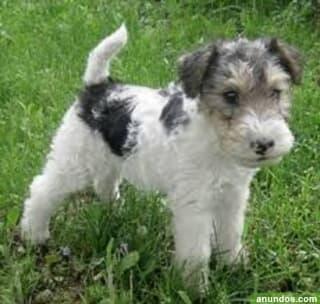 Exquisito fox terrier para adop