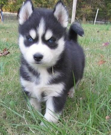 lindos Cachorro Husky Siberiano