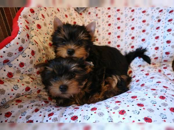 Regalo cachorros de yorkshire terrier