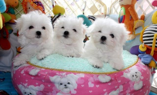 Regalo Cachorros Bichon maltes Para Adopción