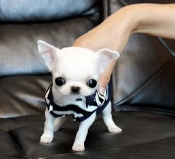 Chihuahua cachorros macho y hembra regalo