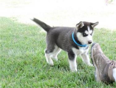 Regalo Perritos del husky siberiano adorable AKC Aegistered