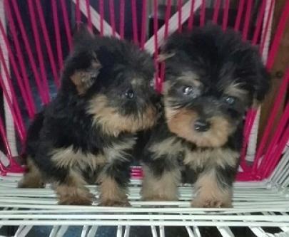 Regalo macho y hembra yorkshire terrier mini
