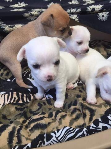 Regalo chihuahua cachorros mini toy para adopcion