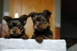 Regalo lindo cachorro de Yorkshire para la adopción