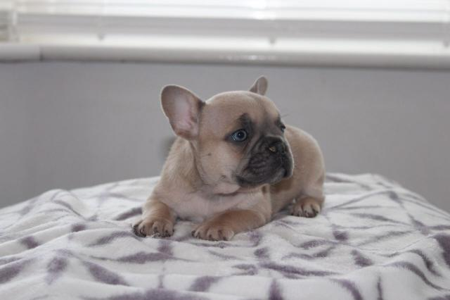 Hembra bulldog francés , tiene 5 meses y todas las vacunas hecha