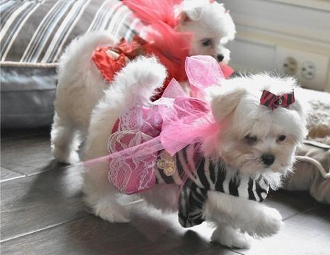 Regalo bichon maltes cachorros