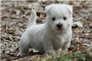Regalo Westys fantasticos cachorros con pedigri.