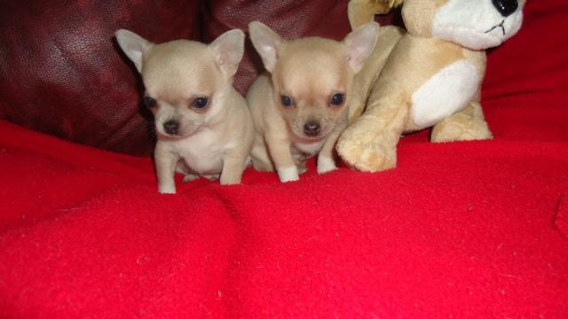 Regalo Cachorras chihuahua mini