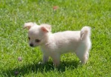 Excelente cachorro chihuahua,criado en familia,
