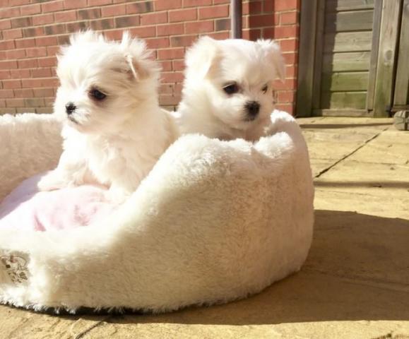 Regalo cachorros Bichon maltes mini toy gratis