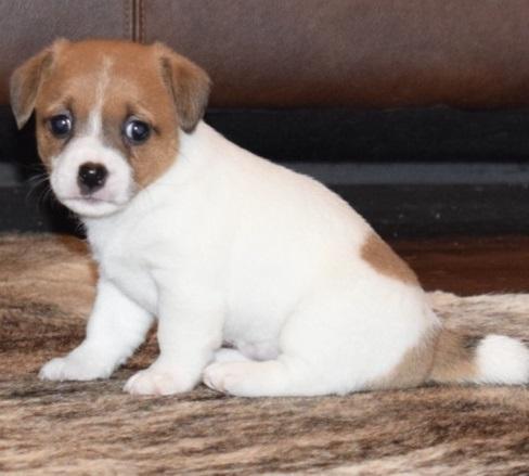 Regalo cachorros Jack russell en adopcion