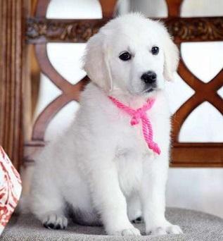 Regalo cachorros Golden Retriever en adopcion