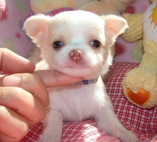 Regalo Chihuahua Cachorros