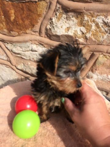 Lindisimos yorkshire terrier cachorritos,