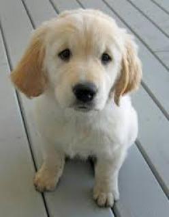 Regalo cachorros Golden Retriever