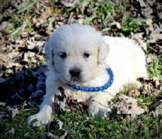 lindo Golden Retriever cachorros para adopcion.