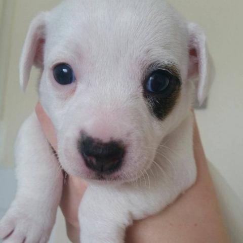 Preciosos cachorritos de Jack Russell disponibles para su entrega