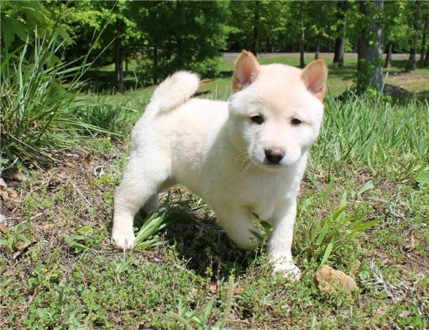 Tenemos cachorros Huskys tanto machos como hembras,