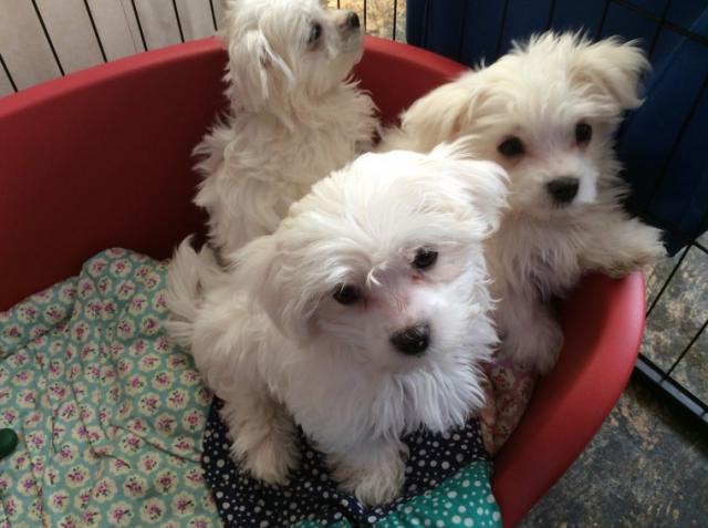 REGALO cachorro Bichon maltes para adopcion