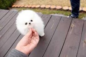 cachorro de Pomerania
