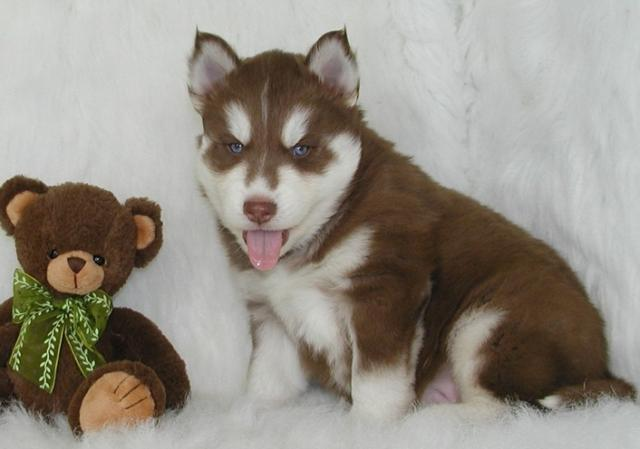 Regalo Tengo 3 increíbles cachorros Siberian Husky