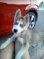 Husky cachorritos ojos azules. nacionales....ER