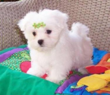 mini cachorros de malteses AKC registro para regalo