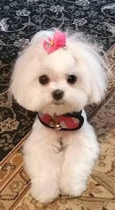 Los cachorros BICHON MALTES miniture totalmente asegurada