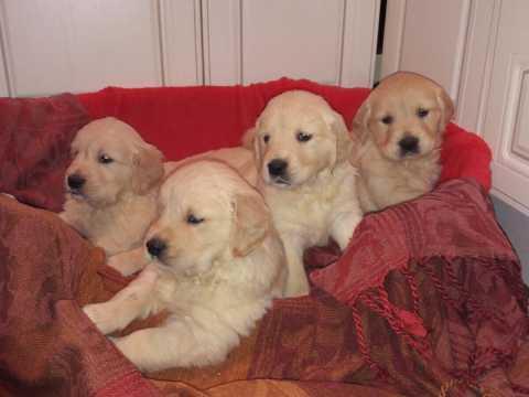 Cachorros de GOLDEN RETIEVER listos para la entrega