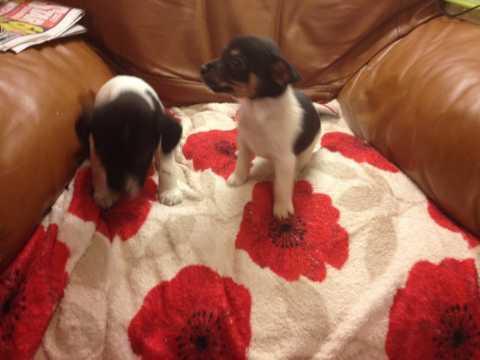 Pequeños y lindos cachorros de JACK RUSSEL TERRIER