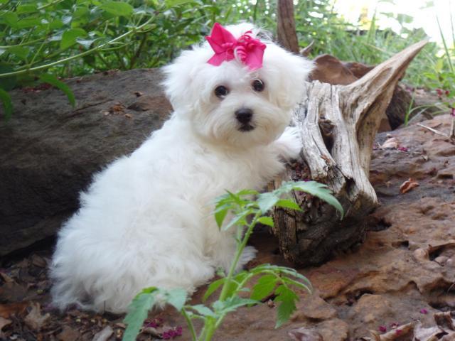 Precioso cachorrito de Bichon Maltes