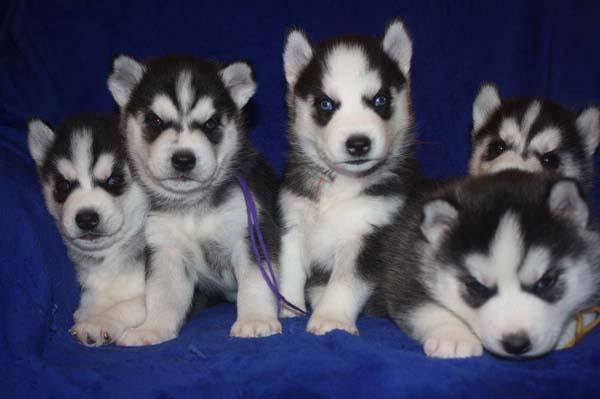 Espectacular camadad cachorros de Husky Siberiano