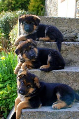 Regalo cachorros Pastor Aleman