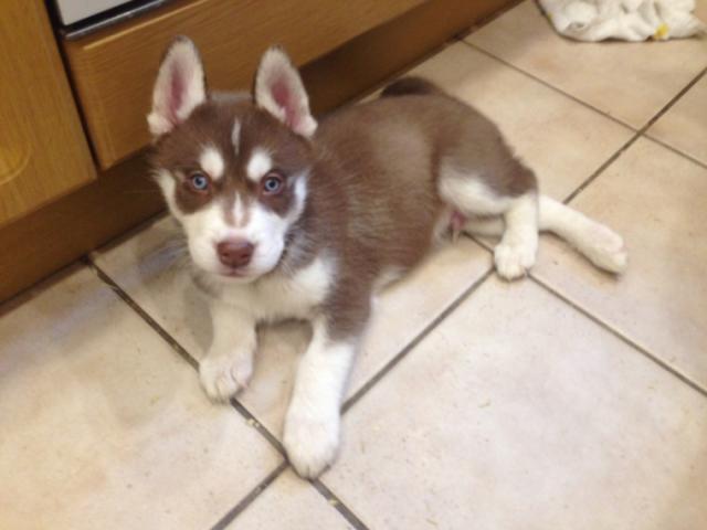 Regalo Los cachorros husky siberiano de raza pura disponible